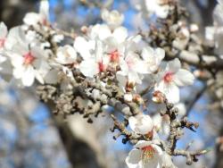 Almond Blossom 5K/10K