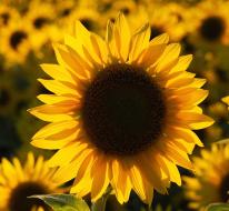 Sunflower Shuffle