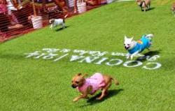 Run Dog Run Chihuahua Derby